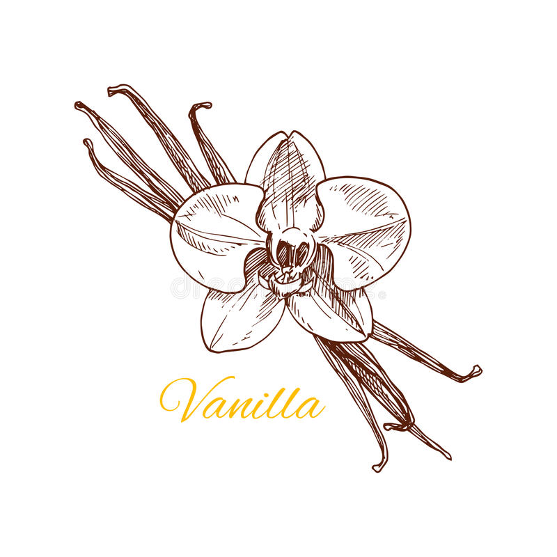 Vanilla aromatic spice vector sketch icon vector illustration