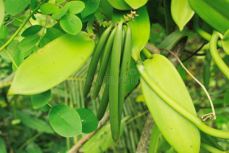 Vanilla bean royalty free stock photos