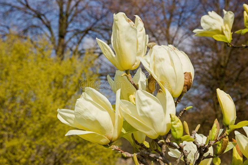 Magnolia light yellow. Vanilla magnolia blooms in the garden, magnolia shrub and blue sky is background stock photography