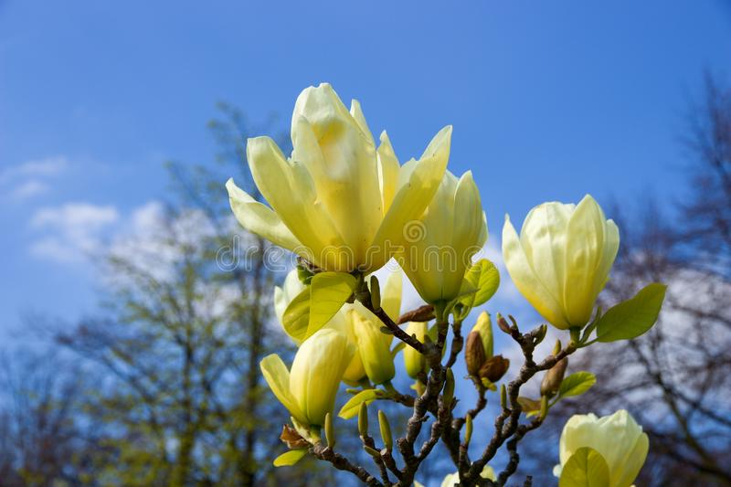 Magnolia light yellow. Vanilla magnolia blooms in the garden, magnolia shrub and blue sky is background royalty free stock photos