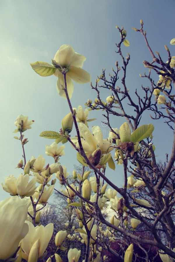 Magnolia light yellow. Vanilla magnolia blooms in the garden, magnolia shrub and blue sky is background stock images
