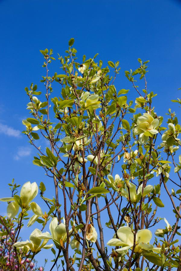 Magnolia light yellow. Vanilla magnolia blooms in the garden, magnolia shrub and blue sky is background stock photos