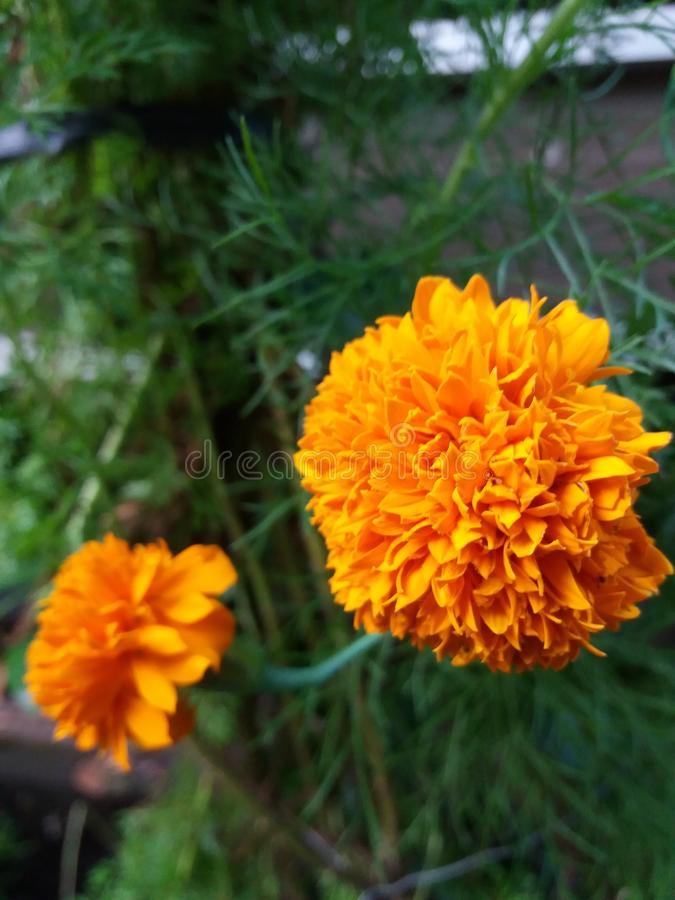 Vanilla marigold which often seems obvious this flower is very beautiful if it is planted in our garden or garden .. stock image