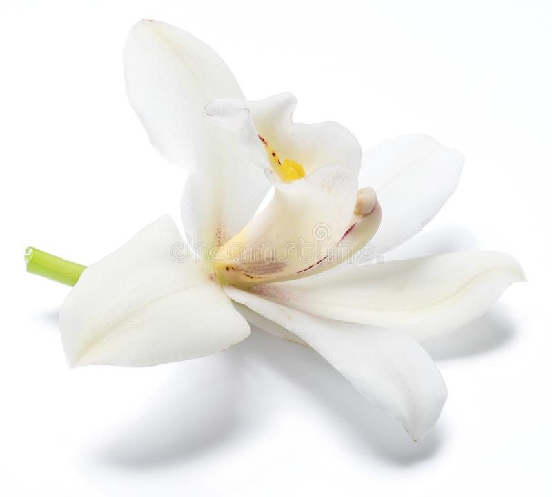 Vanilla orchid vanilla flower isolated on white background.  royalty free stock image