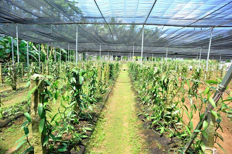 Vanilla planifolia andrews fotografia stock