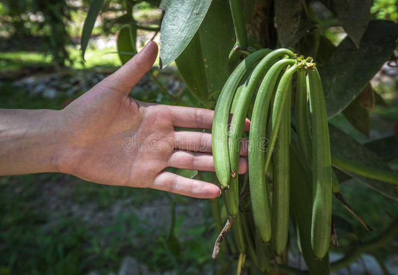 Vanilla plant and green pods in the plantation royalty free stock images