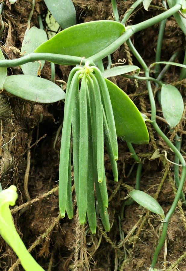 Vanilla-plant met verse groene bonen royalty-vrije stock afbeelding