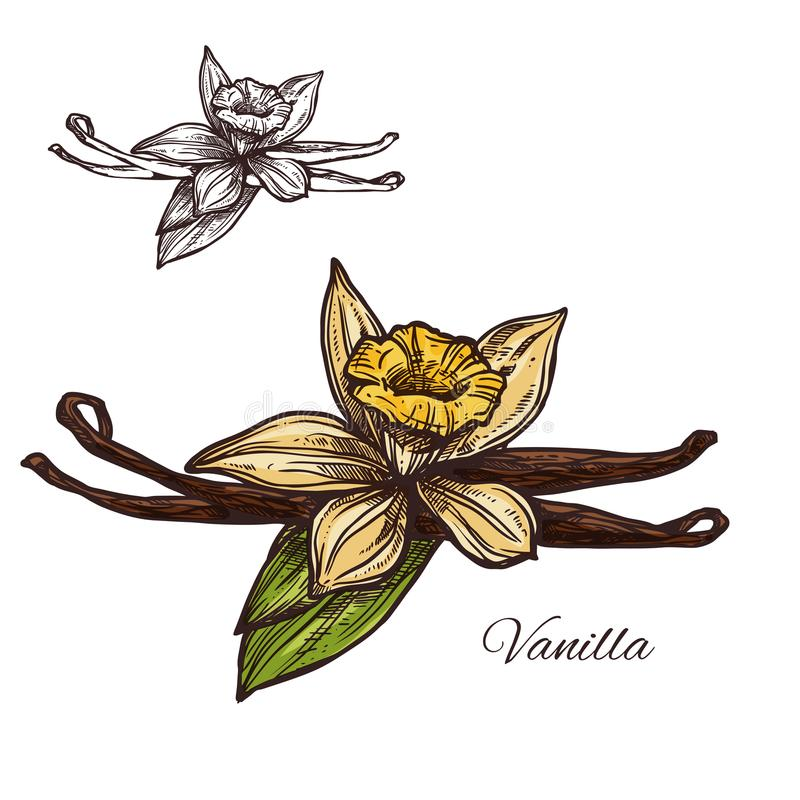 Vanilla flower spice herb vector sketch plant icon. Vanilla spice herb sketch icon. Vector isolated flower and pod of vanilla plant for culinary cuisine cooking vector illustration
