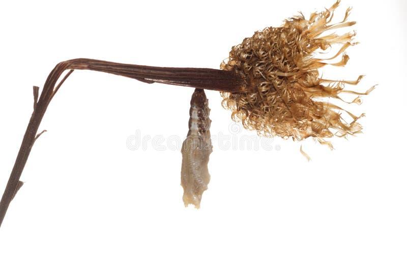 Vanillae de um Agraulis do Fritillary do golfo da crisálida da borboleta Isolador imagem de stock