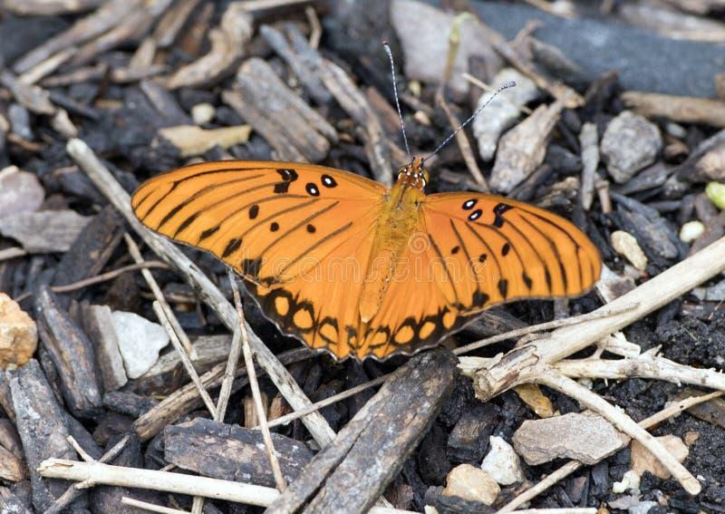 1758 vanillae linnaeus залива fritillary бабочки agraulis стоковые фотографии rf