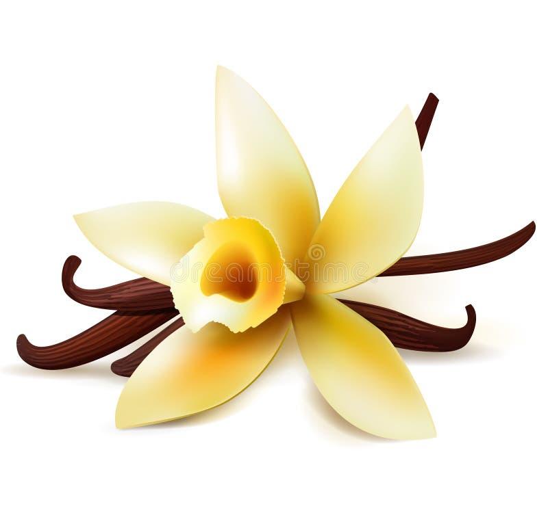 Vanillebloem en peulen stock illustratie
