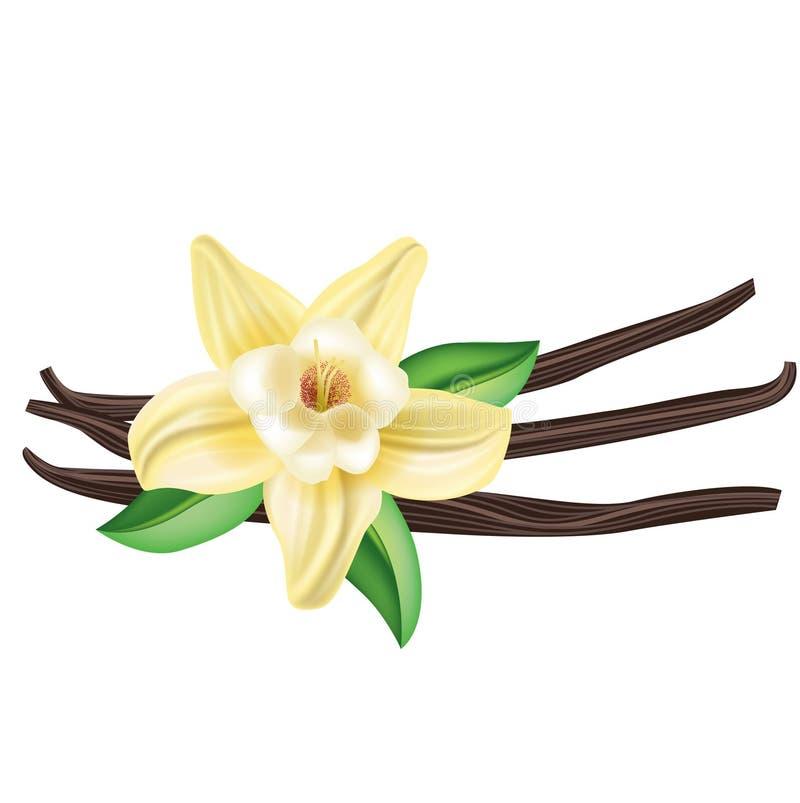 Vanilleblume mit den Stöcken und Blättern lokalisiert stockfotografie