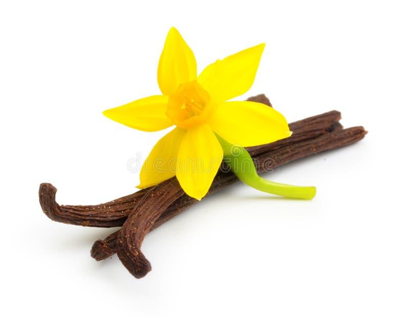Vanillepeulen en bloem stock afbeeldingen