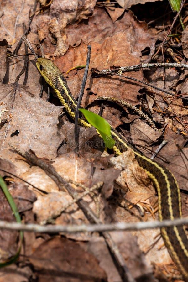 Vanlig Garter Snake i en skog arkivfoton