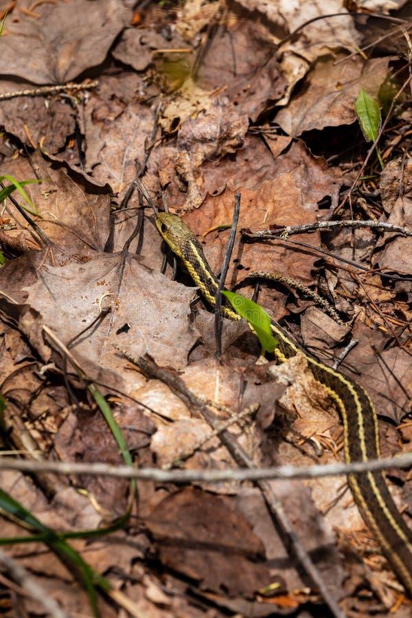 Vanlig Garter Snake i en skog royaltyfri fotografi