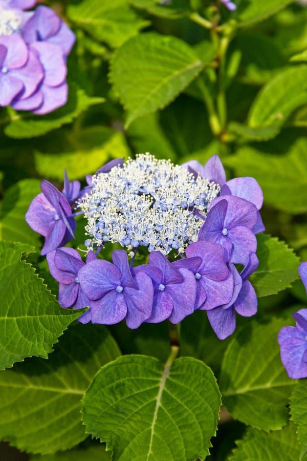 vanlig hortensia royaltyfri fotografi