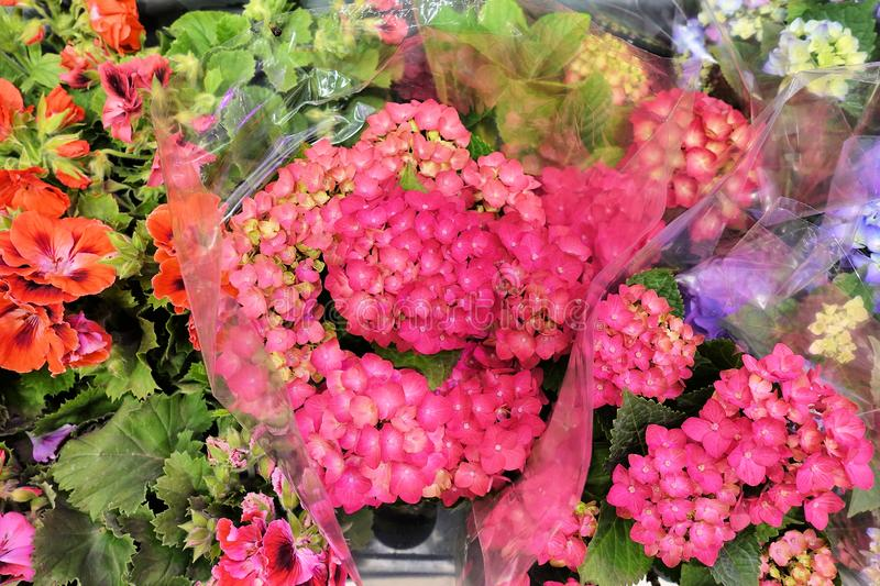 Vanlig hortensia mjuk fokus, tillfogat ov?sen h?rliga blommor Sk?nhet i natur Vanlig hortensiamacrophylla - härlig buske av vanli royaltyfri foto