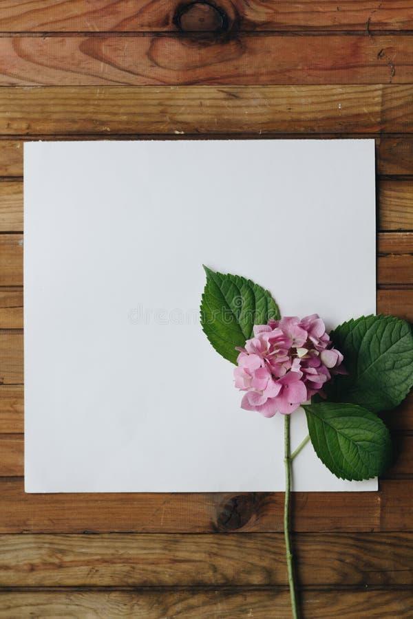 Vanlig hortensia på en vit bakgrund fotografering för bildbyråer