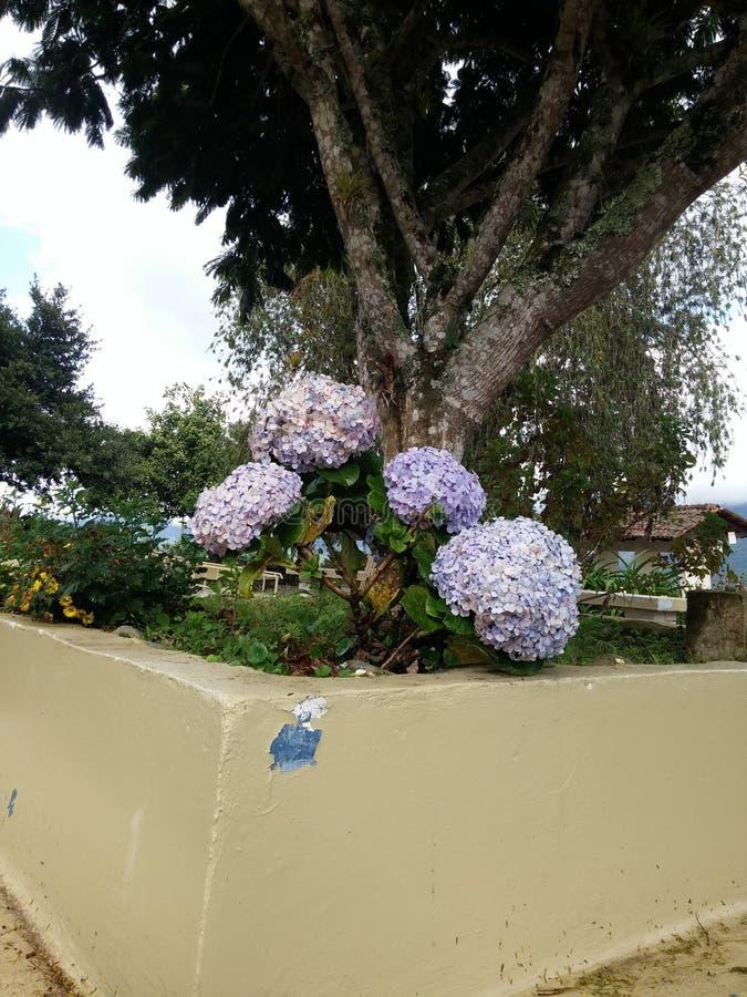 Vanlig hortensia trädgårds- JardÃn de hortensias royaltyfri fotografi