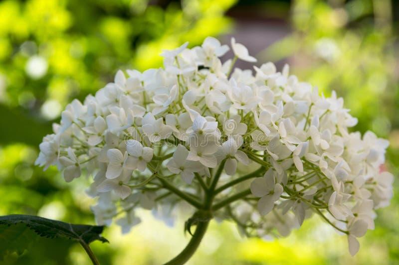 Vanlig hortensiaarborescens, slät vanlig hortensia, lös vanlig hortensia i blom arkivbild