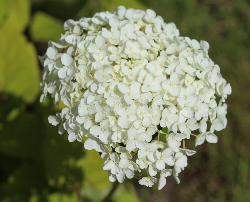 Vanlig hortensiaarborescens som gemensamt är bekanta som slät vanlig hortensia, lös vanlig hortensia eller sevenbark arkivbild