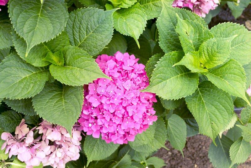 Vanlig hortensiablomma royaltyfri bild