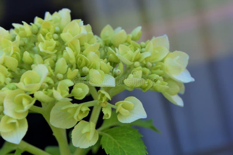 Vanlig hortensiablomma och knopp royaltyfri fotografi