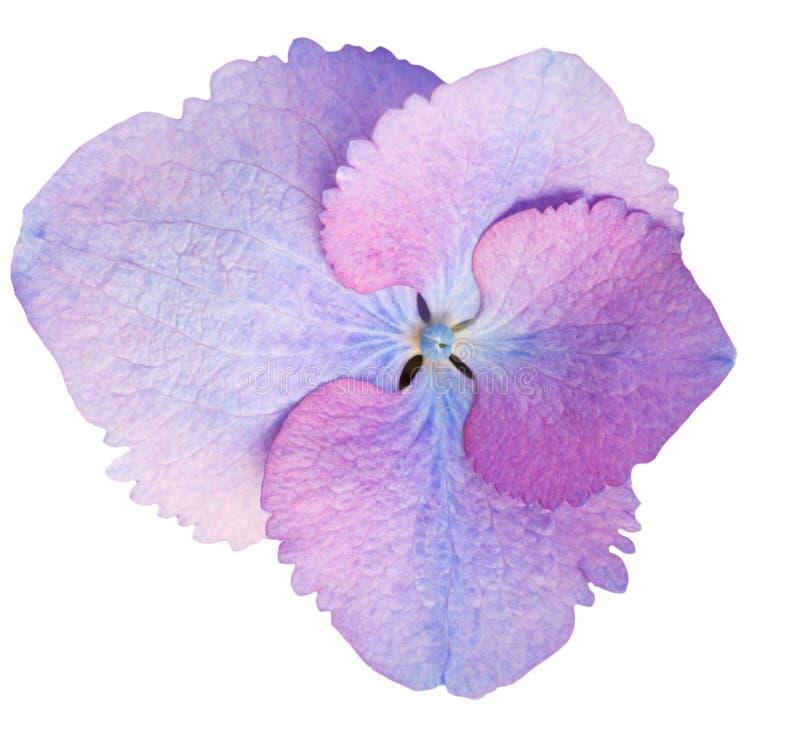Vanlig hortensiablomma som isoleras på vit royaltyfria foton