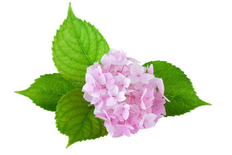 Vanlig hortensiablomma (vanlig hortensiamacrophyllaen) royaltyfri foto