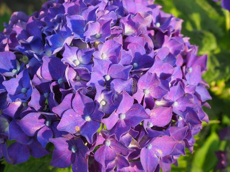 Vanlig hortensiablommabuske vanlig hortensiapurple Hem- trädgård av vanliga hortensian Härligt blomma av Macrophylla vanliga hort royaltyfri fotografi