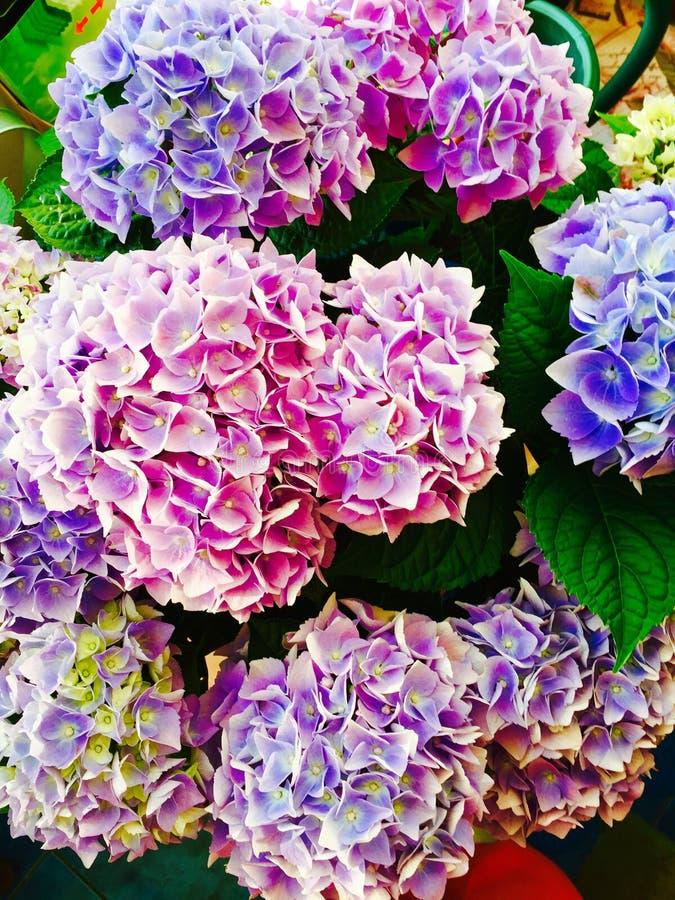 Vanlig hortensiablommor royaltyfria foton