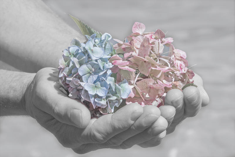 Vanlig hortensiablomningar i a mans handen, avskedplats royaltyfri bild