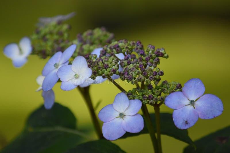 vanlig hortensialacecap fotografering för bildbyråer