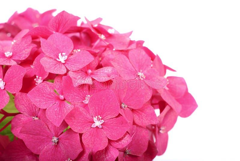 Vanlig hortensiamakro arkivbild