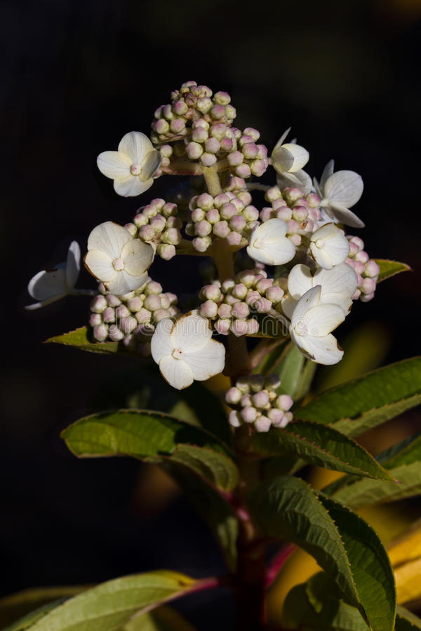 Vanlig hortensiaPaniculata blickpunkt arkivfoton