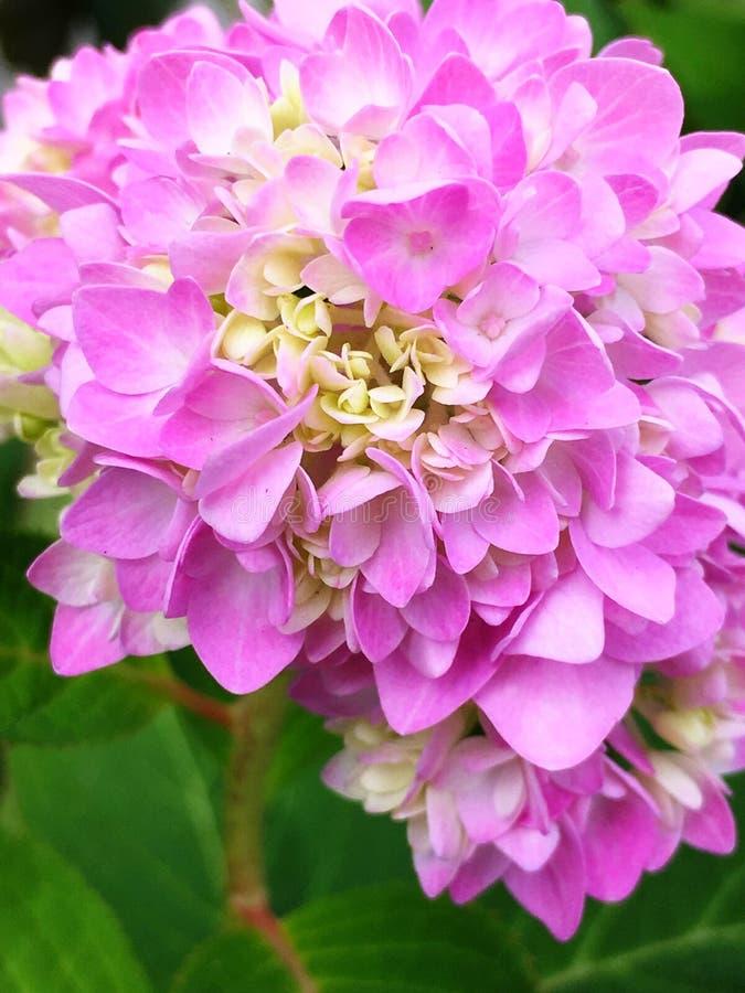 vanlig hortensiapink royaltyfri foto