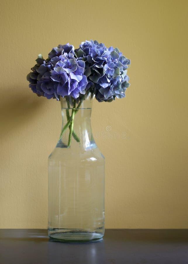vanlig hortensiayellow arkivbild