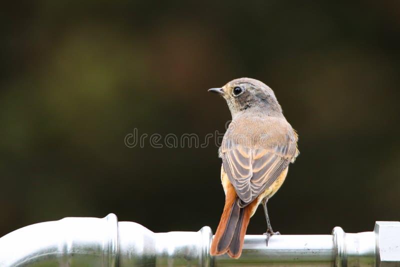 Vanlig nattlig eller helt enkelt nattlig Luscinia megarhynchos songbird som sitter på ett vattenrör av metall arkivfoton