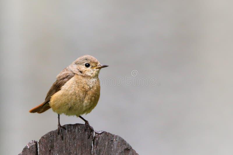 Vanlig nattlig eller helt enkelt nattlig Luscinia megarhynchos songbird som sjunger på träplank royaltyfria foton