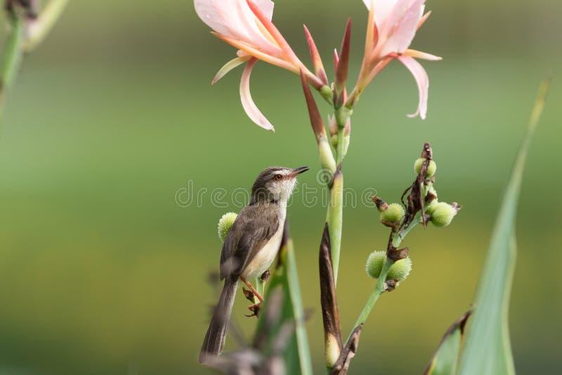 Vanlig prinia med den rosa blomman royaltyfria foton