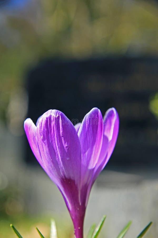 Vanlig purpurfärgad krokus royaltyfri bild