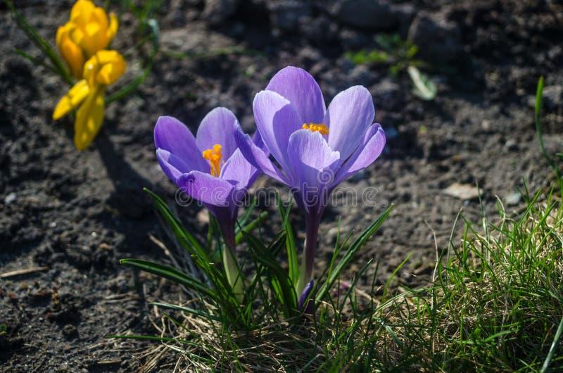 Vanlig purpurfärgad krokus i tidigt vårsolljus fotografering för bildbyråer
