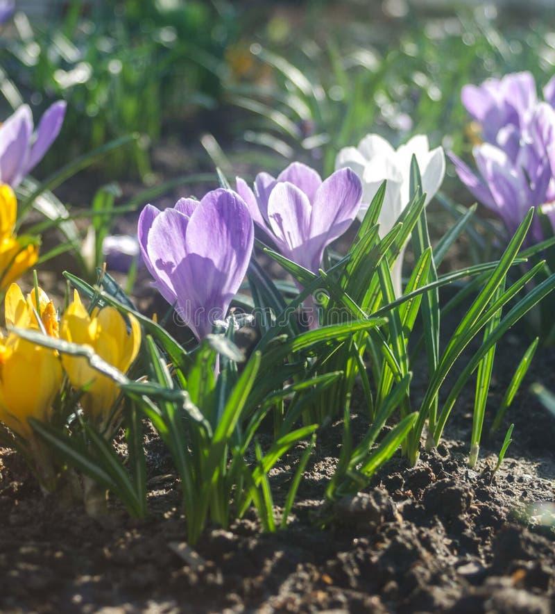 Vanlig purpurfärgad krokus i tidigt vårsolljus arkivbild