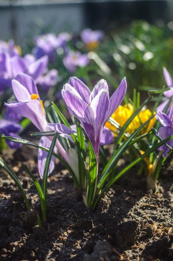 Vanlig purpurfärgad krokus i tidigt vårsolljus royaltyfri fotografi