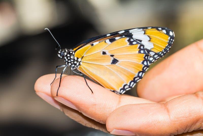 Vanlig tigerfjäril royaltyfri foto