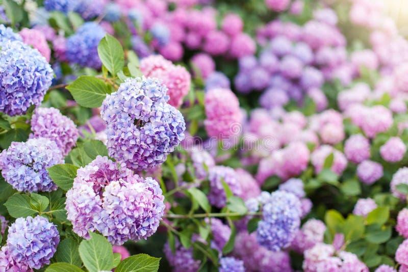 Vanliga hortensian är rosa, blåa, lila, violetta purpurfärgade buskar Blommor blommar i vår och sommar arkivbilder