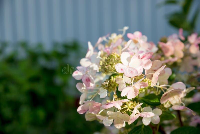 Vanliga hortensian är rosa, blått, lila, violett, är purpurfärgade blommor blommande i vår och sommar på solnedgången i stadträdg fotografering för bildbyråer