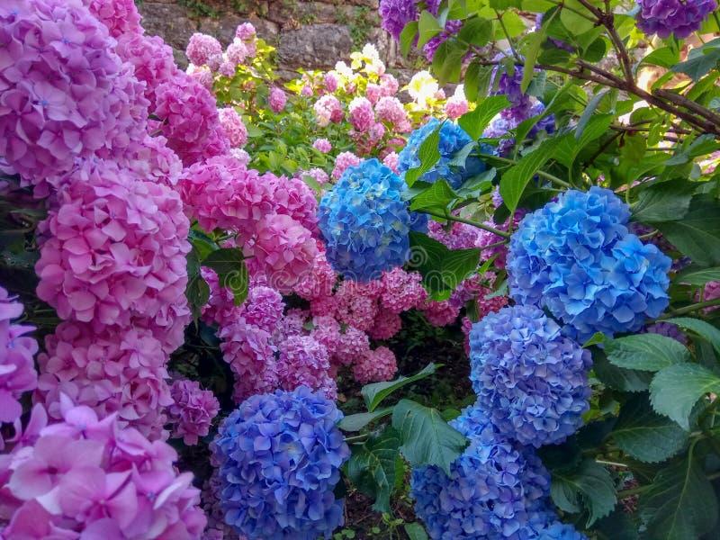 Vanliga hortensian är rosa, blått, violett, blommar purpurfärgade buskar av blommor i vår och sommar på solnedgången i stadsträdg arkivbild
