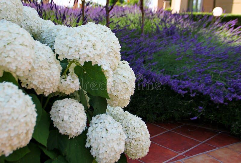 Vanliga hortensian blommar på lavendelbakgrund royaltyfri fotografi