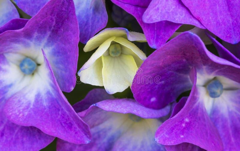 Vanliga hortensian blomstrar closeupen fotografering för bildbyråer